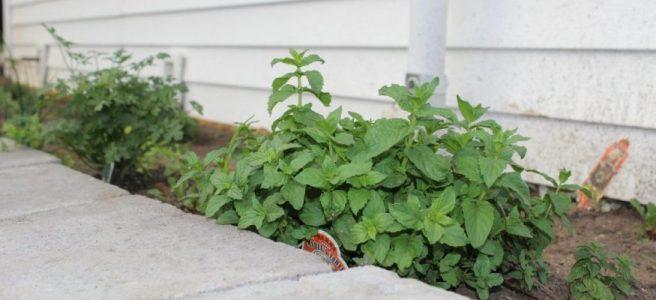 A beginner's herb garden